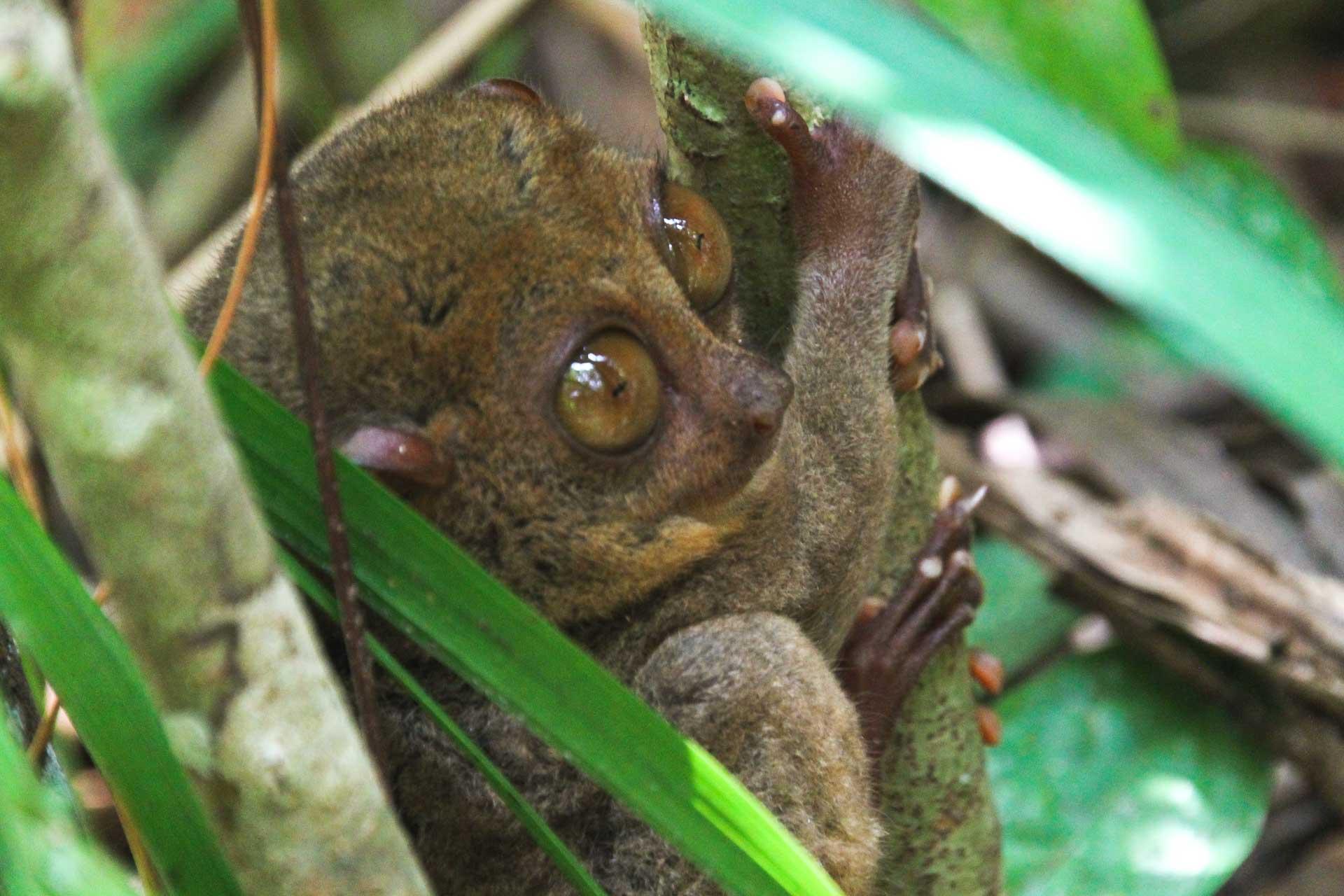 tarsier monkey Philippines