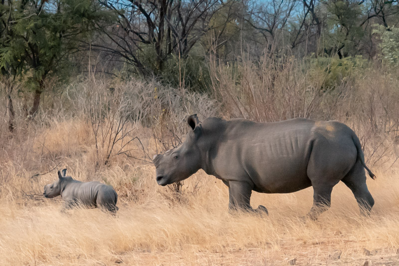 Must do: walking with rhinos in Zimbabwe
