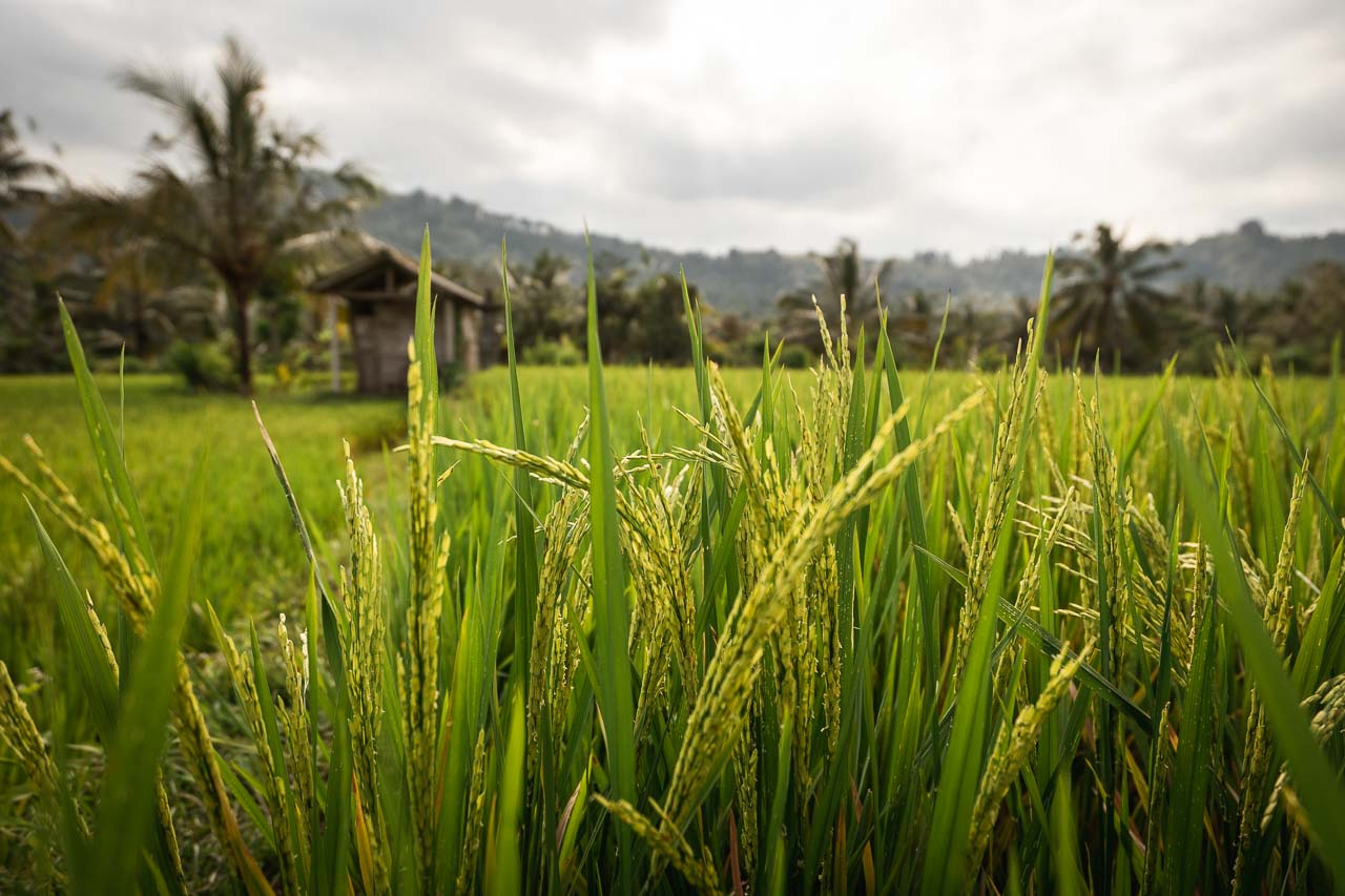 Ubud Sidemen ricefields